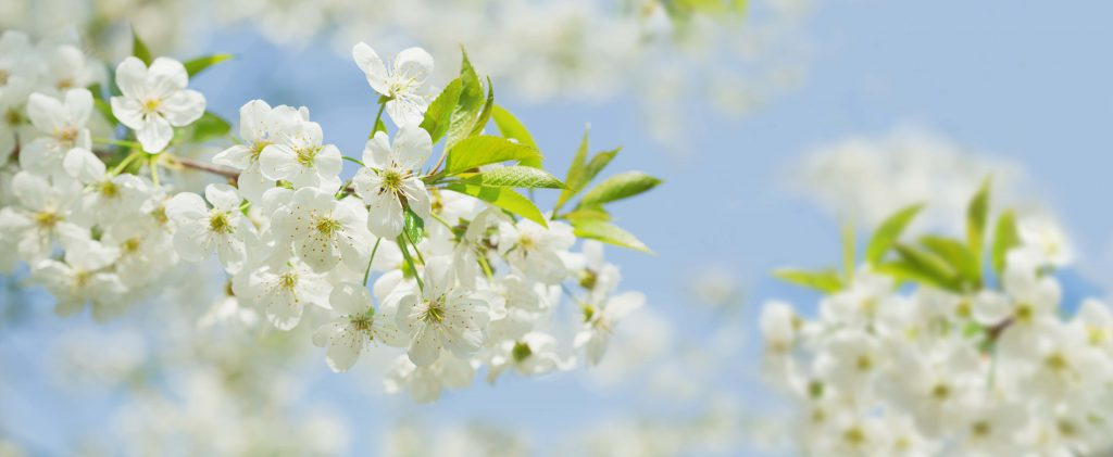 Close up of white flowers on tree